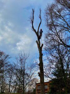 arborysta na drzewie